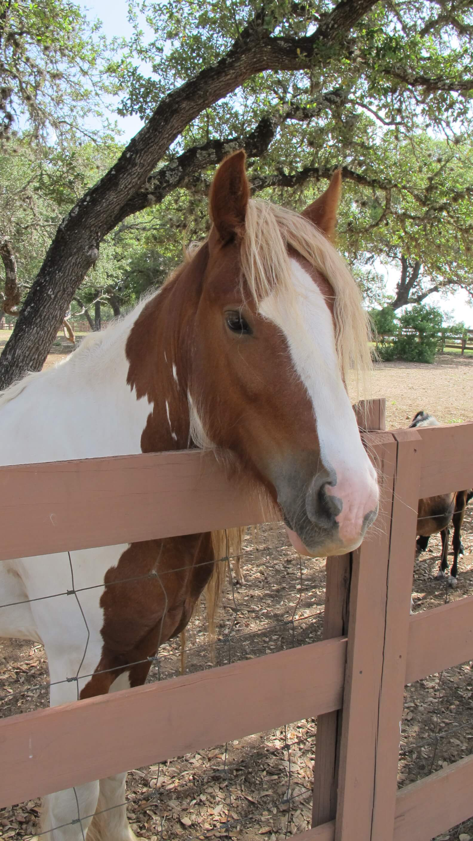 TX Hill Country Horse