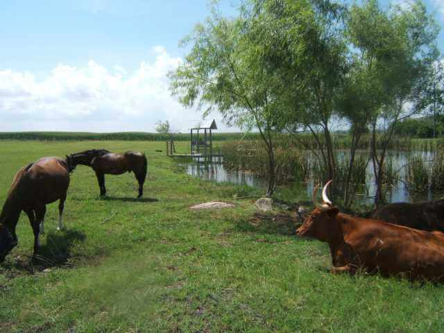 livestock graze by pond